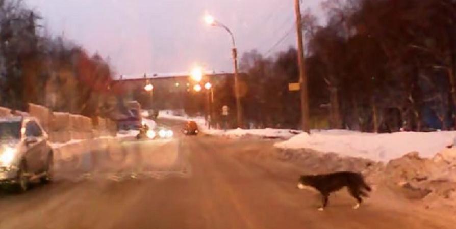 В Мурманске собака показала пример пешеходам по соблюдению ПДД [видео]