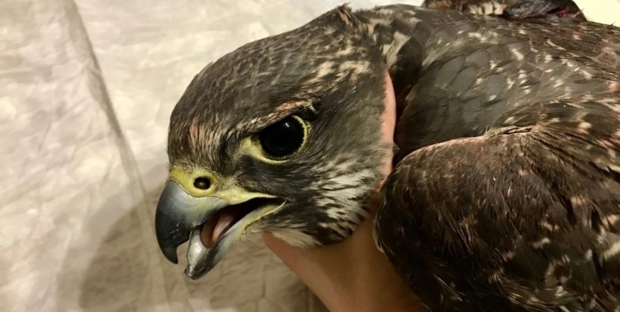 Для раненой самки кречета из Мурманска нашли жениха на Алтае
