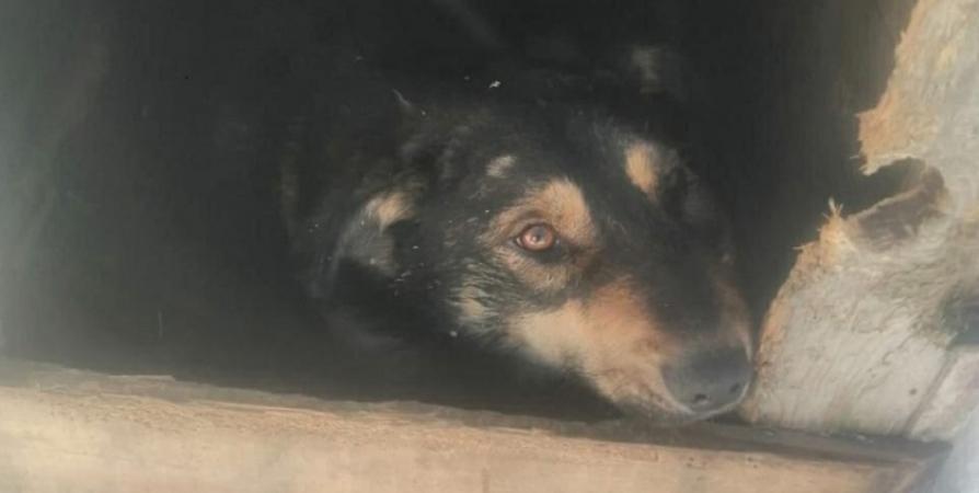 В Гаджиево спасли подстреленную собаку и отправили на операцию в СПб