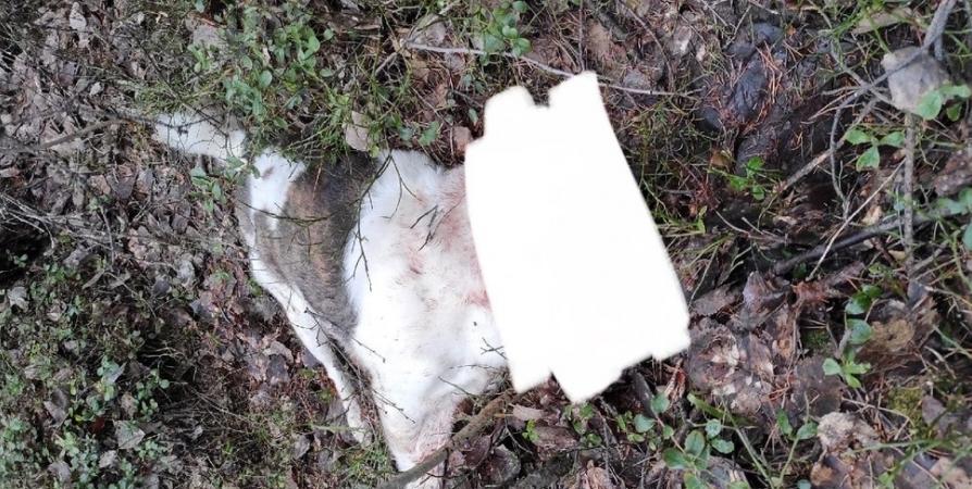 Тело найденной в лесу Кандалакши собаки отправят на экспертизу