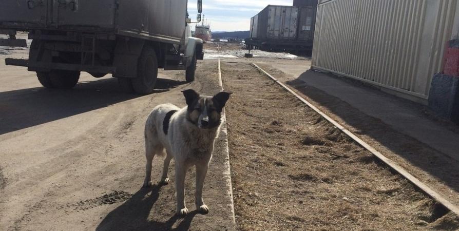 В Заполярье собак после отлова кинологи проверяют на агрессивность
