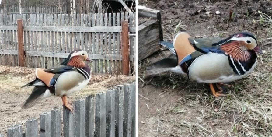 Краснокнижную утку-мандаринку сфотографировали жители Зеленоборского