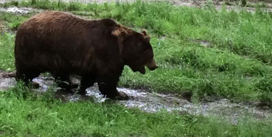 В районе кладбища Заозерска заметили медведицу с малышами