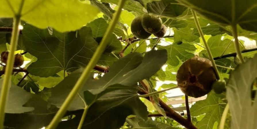 В оранжерее Ботанического сада в Кировске созрели плоды инжира