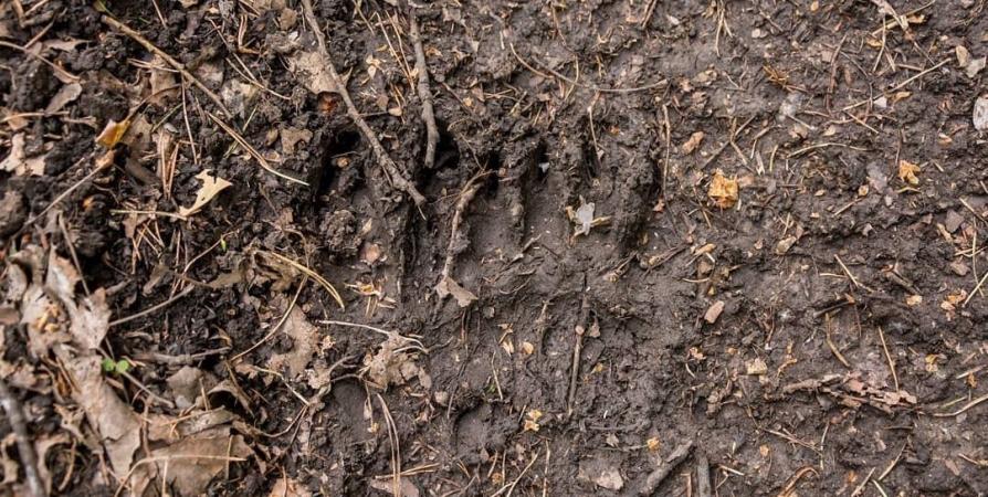 Медвежий след обнаружил житель Росляково в районе Зеленой