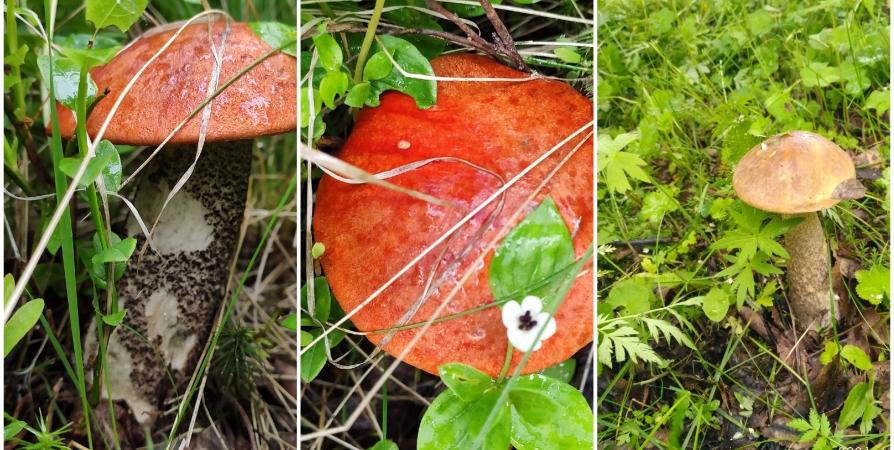 сезон грибов в мурманской области
